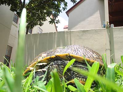 Turtle assassin in traditional combat helmet awaits his victim.